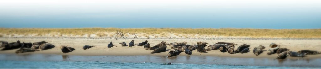 Seal on Beach in Cape Cod
