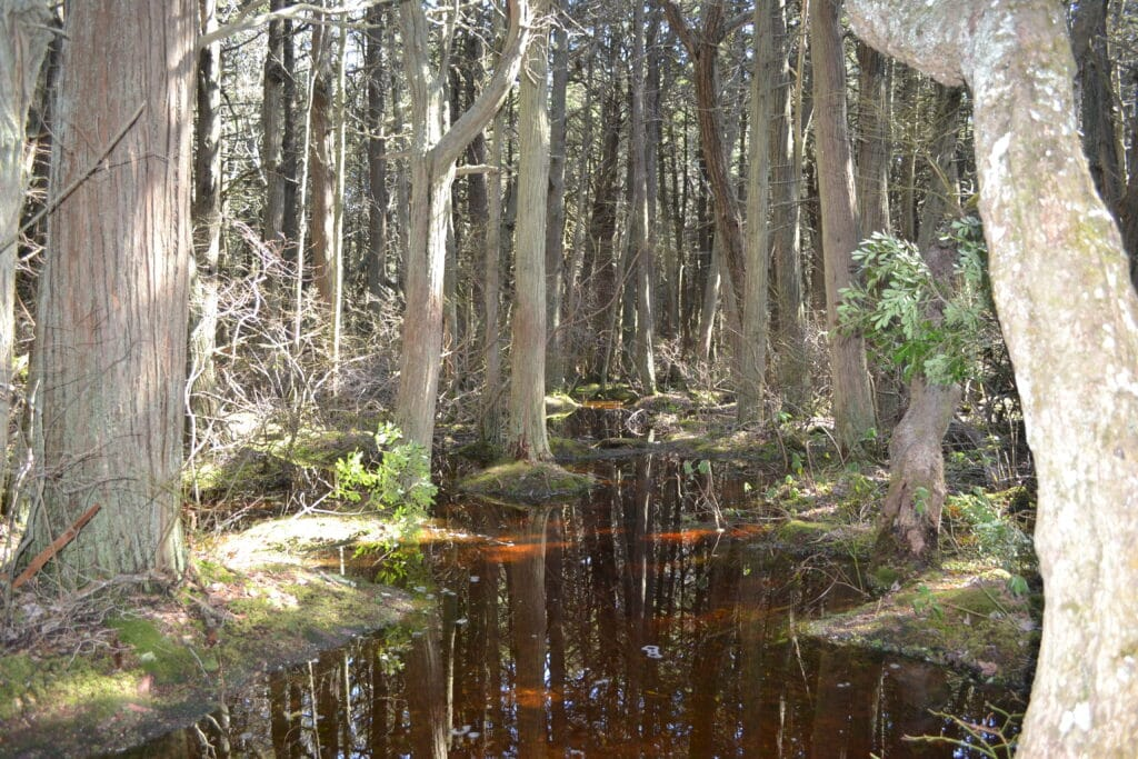 Hidden gems. Atlantic White Cedar Swamp Wellfleet